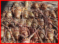 Bust of lobsters during closed season