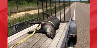 Another Dead Tapir on John Smith